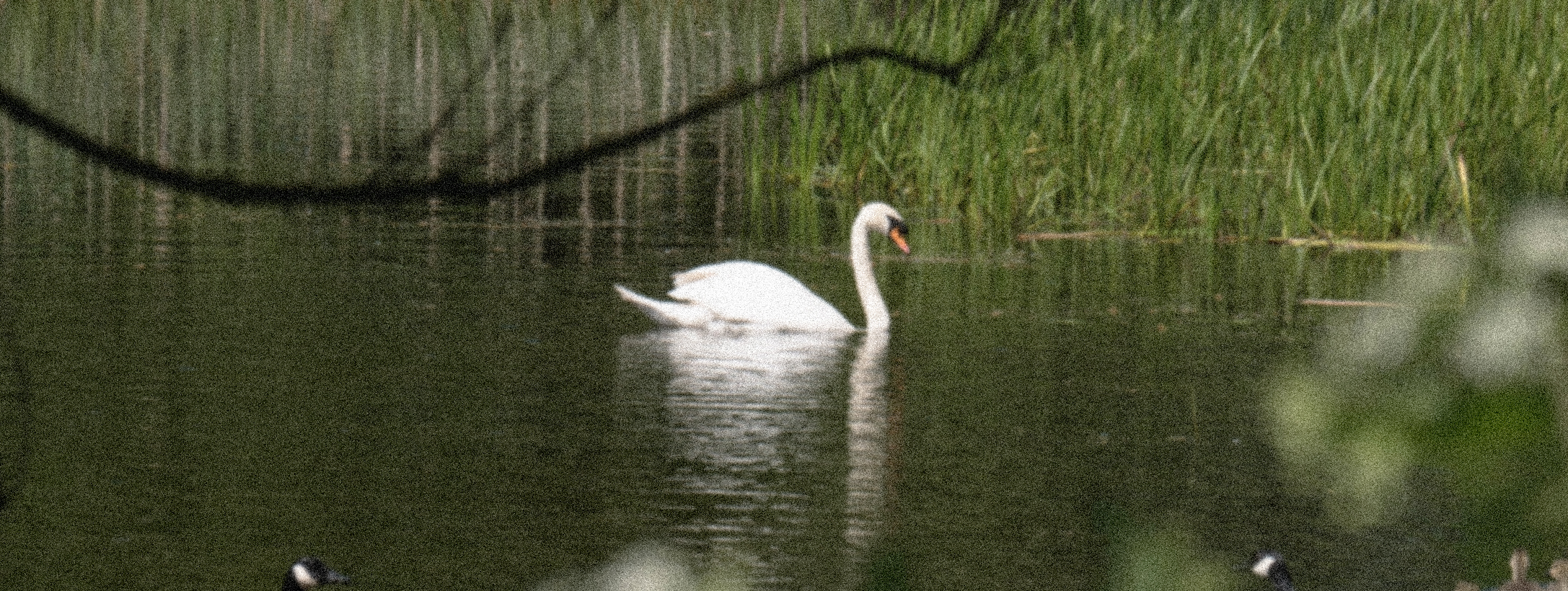 Photograph of a swan in water