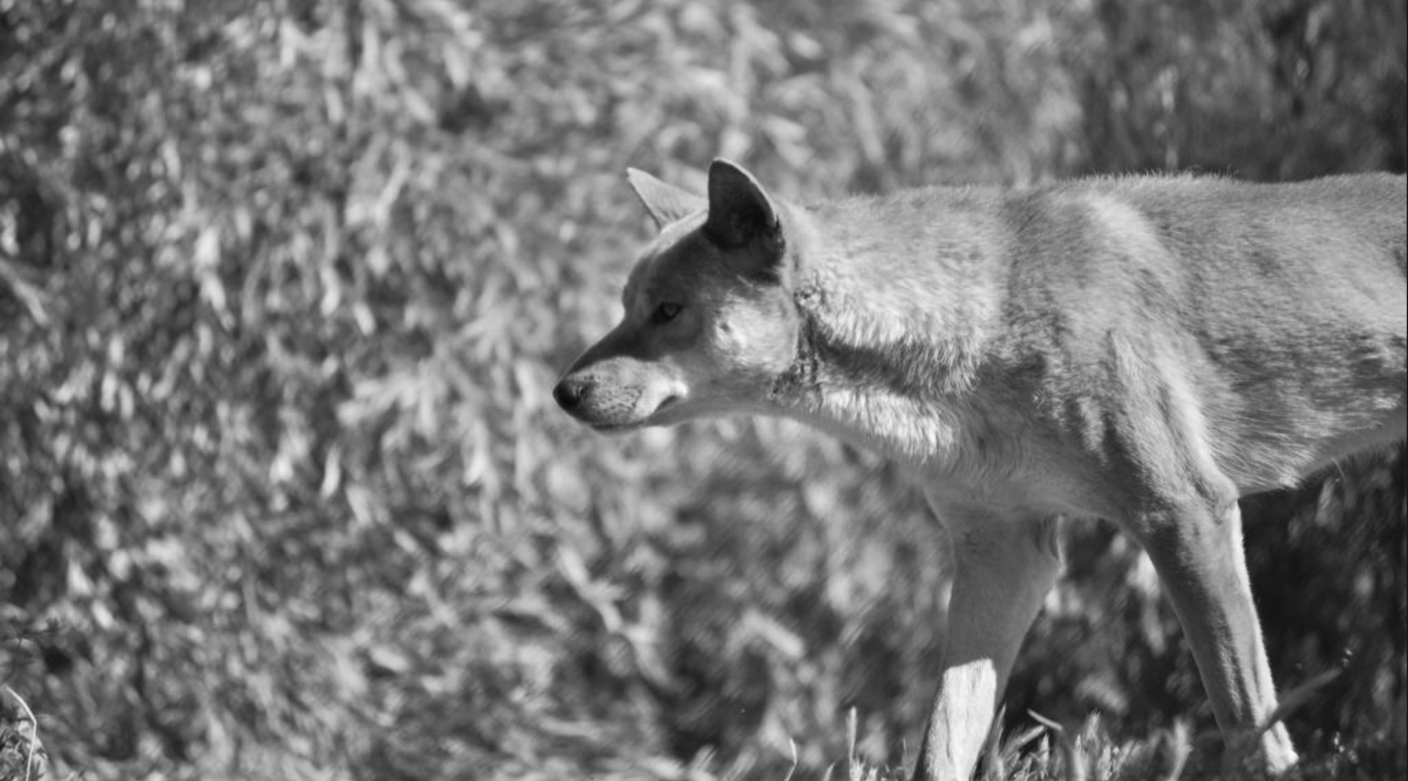 Black and white photo of a dingo