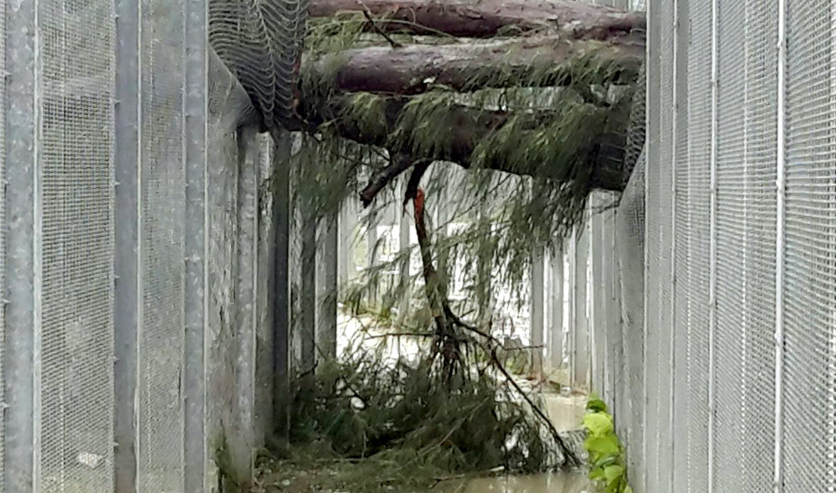 Photo of a storm-damaged tree, collapsed over a section of fence at Manus Island Regional Processing Centre