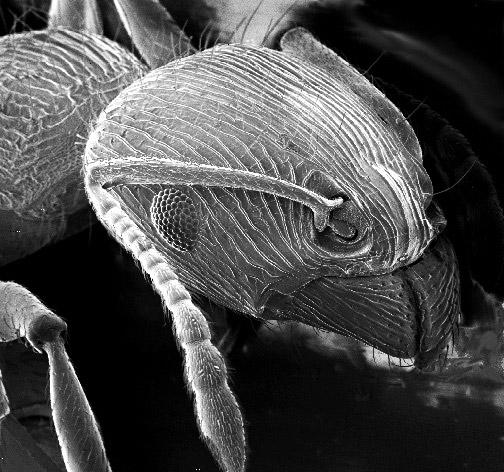 Image of an ant via WikiCommons
