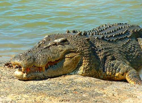 The saltwater crocodile: The only vertebrate species that's been taken off the endangered species list due to increased numbers.