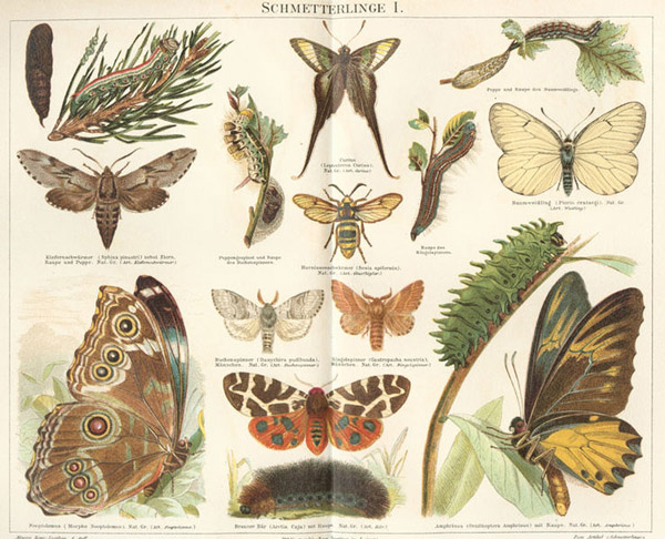 Butterfly illustrations by Meyer via WikiCommons