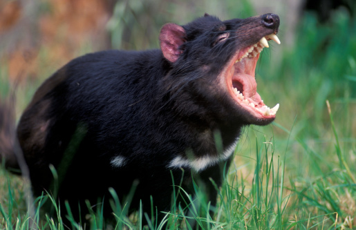 'Why aren't we reintroducing the Tasmanian Devil to national parks on the mainland? ... It could play a role in checking foxes and cats.'