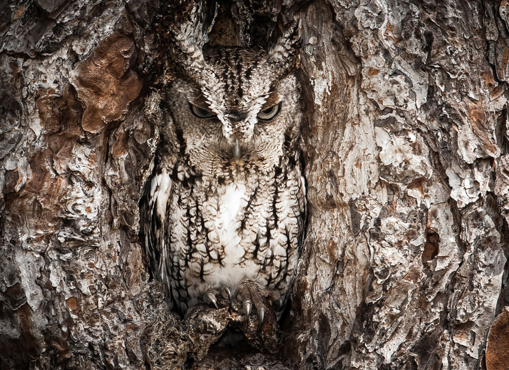 Merit winner, Graham McGeorge: Portrait of an Eastern Screech Owl.