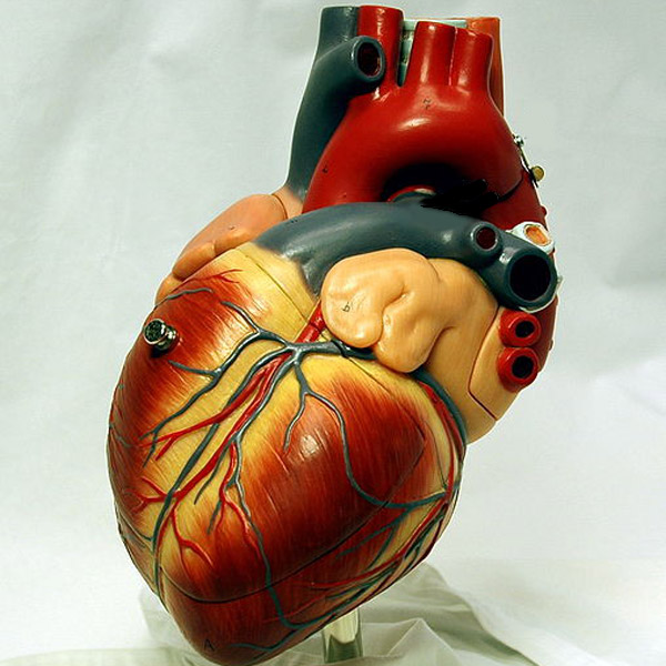 Image of a model of a heart via WikiCommons